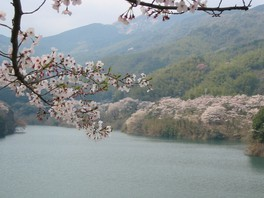 昭和池公園の桜 画像(2/4)
