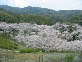 昭和池公園の桜 画像(3/4)