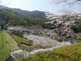 昭和池公園の桜 画像(4/4)