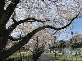 保土ヶ谷公園の桜 画像(2/4)