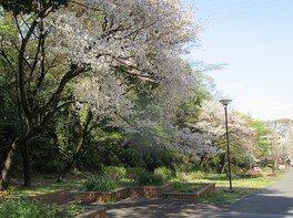 保土ヶ谷公園の桜 画像(4/4)