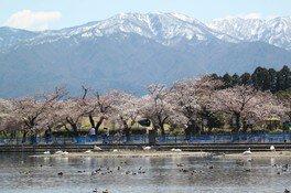 瓢湖水きん公園の桜 画像(2/2)