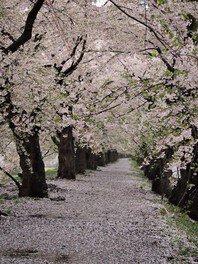 花瀬自然公園の桜 画像(3/5)