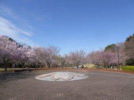 高尾さくら公園の桜 画像(2/3)
