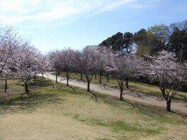 高尾さくら公園の桜 画像(3/3)