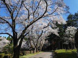 石川県農林総合研究センター林業試験場樹木公園の桜 画像(2/3)