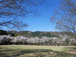 石川県農林総合研究センター林業試験場樹木公園の桜 画像(3/3)