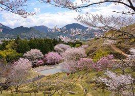 かみかわ桜の山 桜華園の桜 画像(2/3)