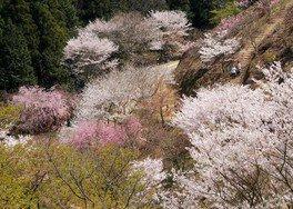 かみかわ桜の山 桜華園の桜 画像(3/3)