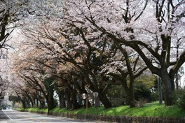 日光街道桜並木の桜 画像(2/2)