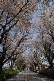 日光街道桜並木の桜 画像(3/3)