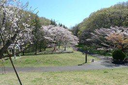 都立桜ヶ丘公園の桜 画像(2/3)