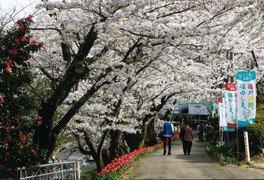 花と歴史の郷 蛇の鼻の桜 画像(2/4)