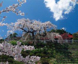 花と歴史の郷 蛇の鼻の桜 画像(3/4)
