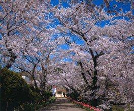 花と歴史の郷 蛇の鼻の桜 画像(4/4)