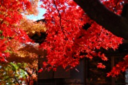 箱根(強羅)の紅葉 画像(4/5)