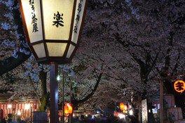 平野神社の桜 画像(2/5)