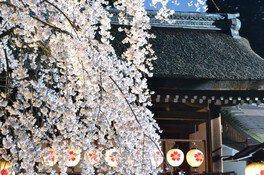 平野神社の桜 画像(3/5)