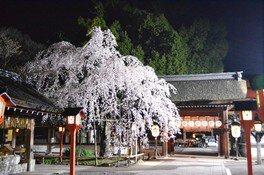 平野神社の桜 画像(4/5)