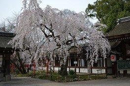 平野神社の桜 画像(5/5)