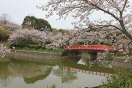 甘木公園の桜(福岡県朝倉市) 画像(3/3)