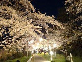 本荘公園の桜 画像(2/2)
