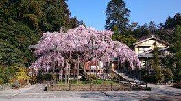太平山県立自然公園の桜 画像(2/2)