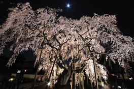 太平山県立自然公園の桜 画像(3/4)