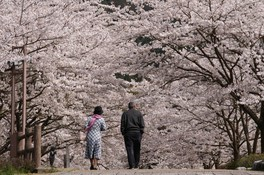 和らぎの道(七谷川沿い)の桜画像