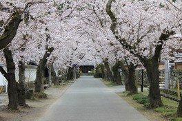 秋月杉の馬場通りの桜 画像(2/3)