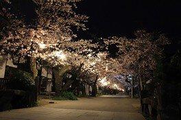 秋月杉の馬場通りの桜 画像(3/3)