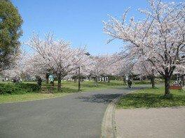 舎人公園の桜 画像(3/5)