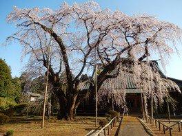 長光寺のしだれ桜 画像(2/3)