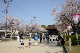 尾張大国霊神社(国府宮)の桜 画像(3/3)