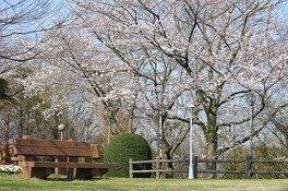 ハーモニーランドの桜 画像(3/5)