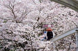 ハーモニーランドの桜 画像(4/5)