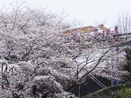 ハーモニーランドの桜 画像(5/5)