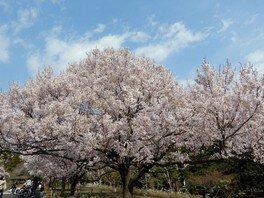 高遠小彼岸桜 蘆花恒春園の桜 画像(2/3)