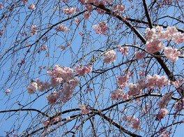 八重紅枝垂桜 蘆花恒春園の桜 画像(3/3)