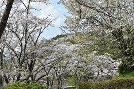 大津山公園の桜 画像(2/2)