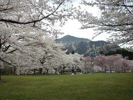 羊山公園の桜 画像(2/4)