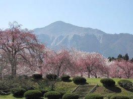羊山公園の桜 画像(3/4)