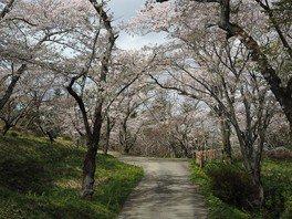 御本丸公園の桜 画像(2/2)
