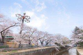 としまえんの桜 画像(2/2)