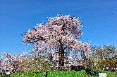 「円山公園の桜」のお花見(京都市東山)