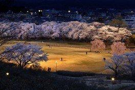 長峰公園の桜 画像(2/2)