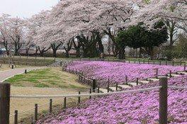 長峰公園の桜 画像(3/3)