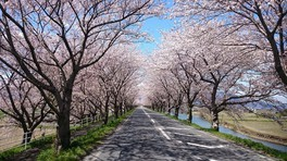 平田公園と大榑川の桜並木 画像(2/3)