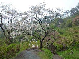 きみまち阪県立自然公園の桜 画像(2/3)