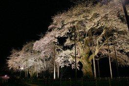 荘川桜 画像(2/2)